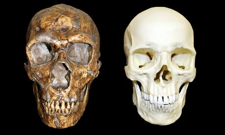 Neanderthal and human skulls